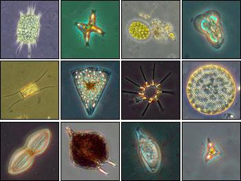 ice_phytoplankton_ courtessy from http://earthobservatory.nasa.gov/