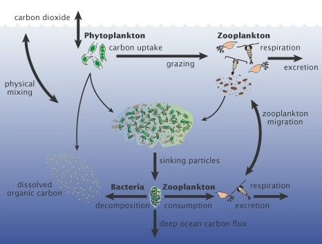 photoplankton - courtesy of A New Wave of Ocean Science, U.S. JGOFS s